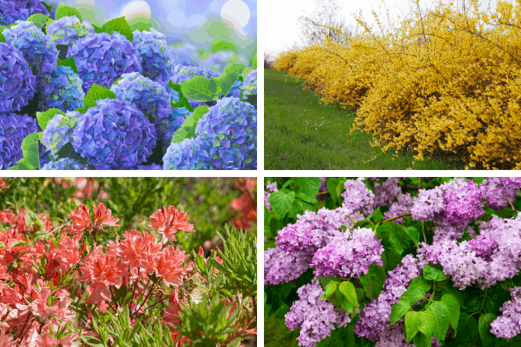 List of Stunning Flowering Shrubs