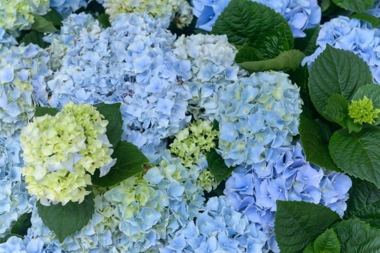 Flowering Shrubs - Hydrangea