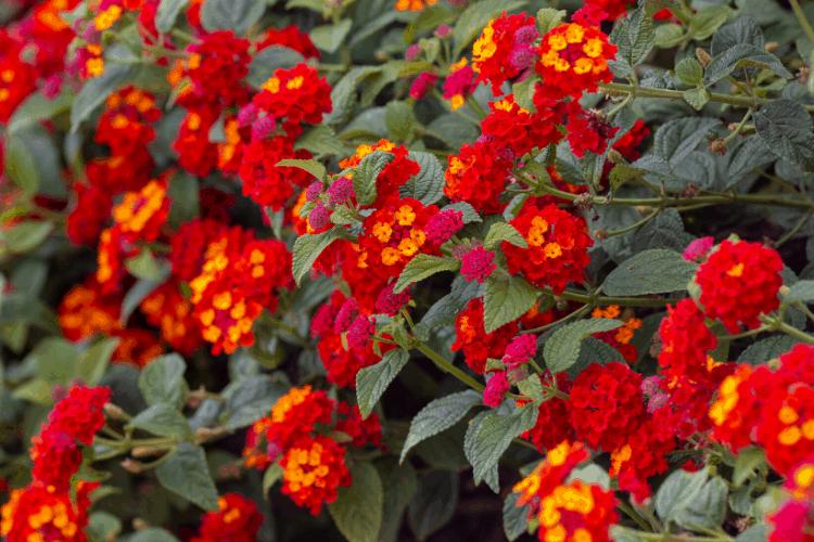 Drought tolerant perennial - lantana