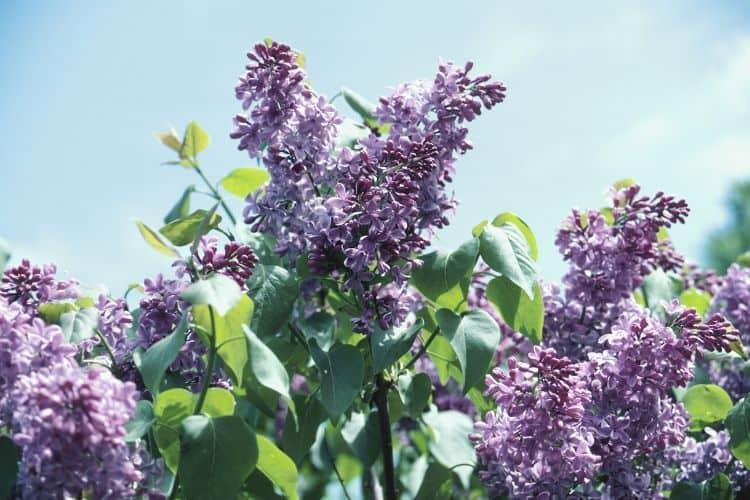 Flowering Shrubs - Lilac