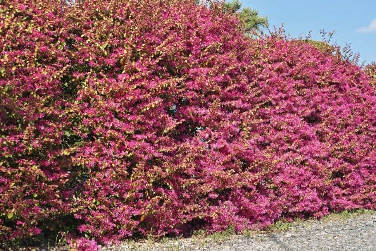 Flowering Shrub - Loropetalum