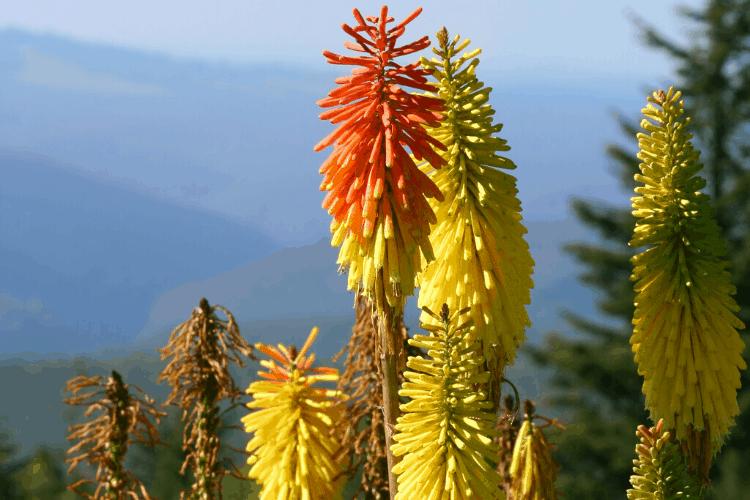 Drought tolerant perennials - red hot fire poker