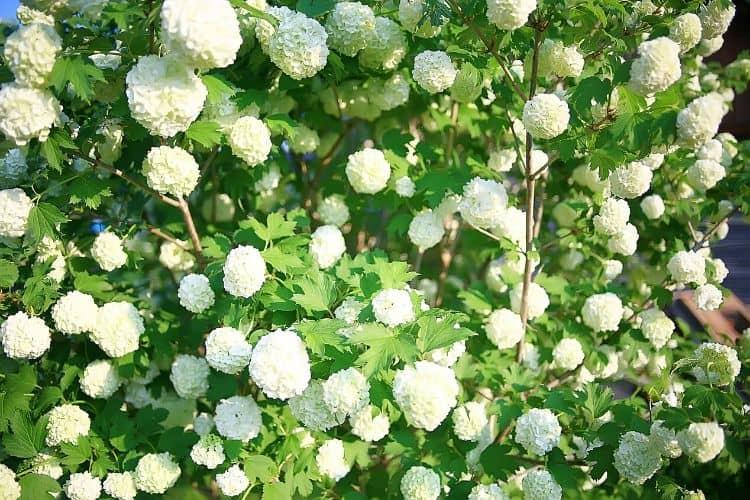 Flowering Shrubs - Snowball Bush