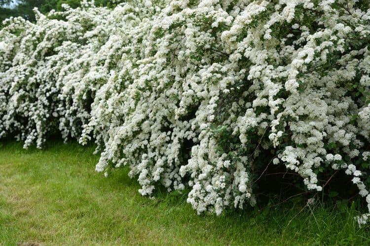 Flowering Shrubs - Spirea