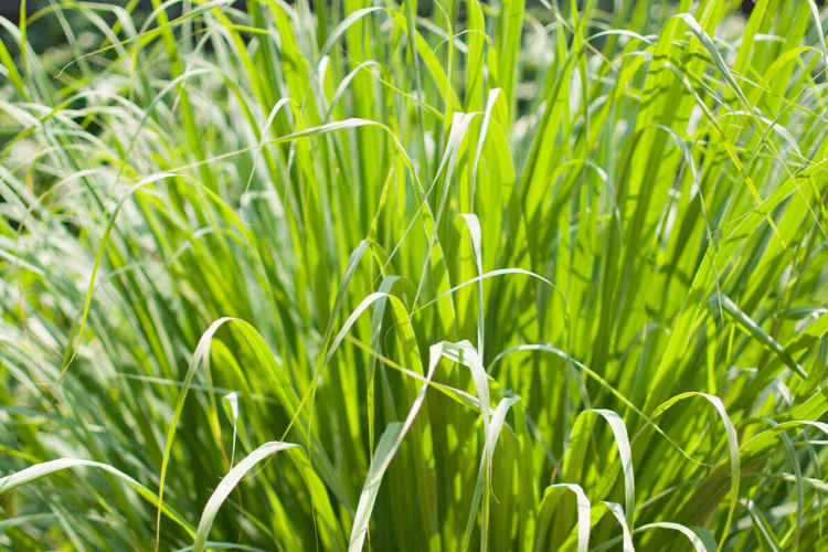 Lemongrass - plants that repel mosquitoes