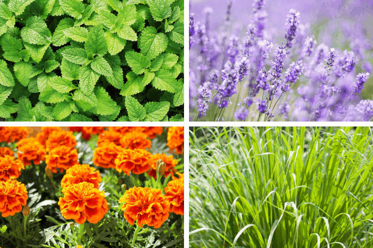 Plants That Repel Mosquitos