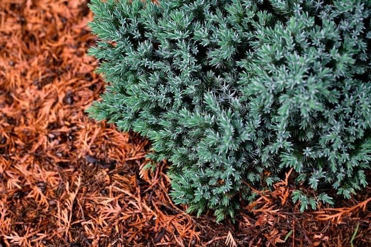 small space shrubs - blue juniper