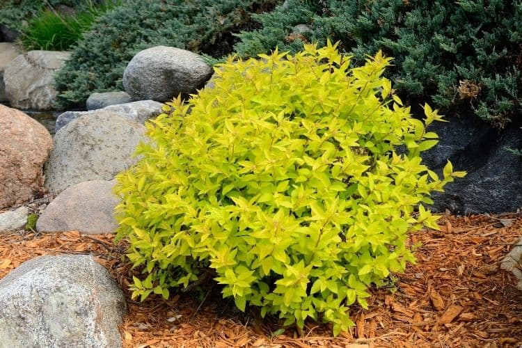 shrubs for small spaces - spirea