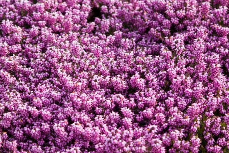 winter heath - shrubs for small spaces