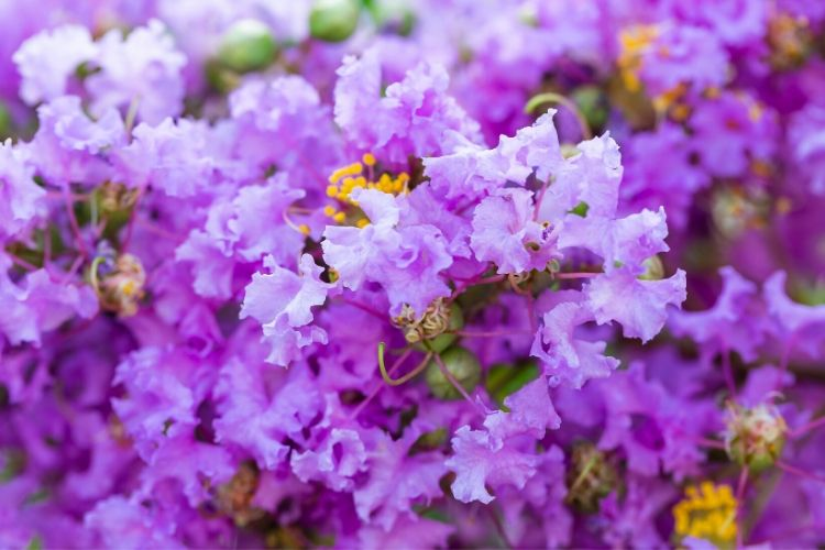 Purple Flowering Trees - Crepe Myrtle