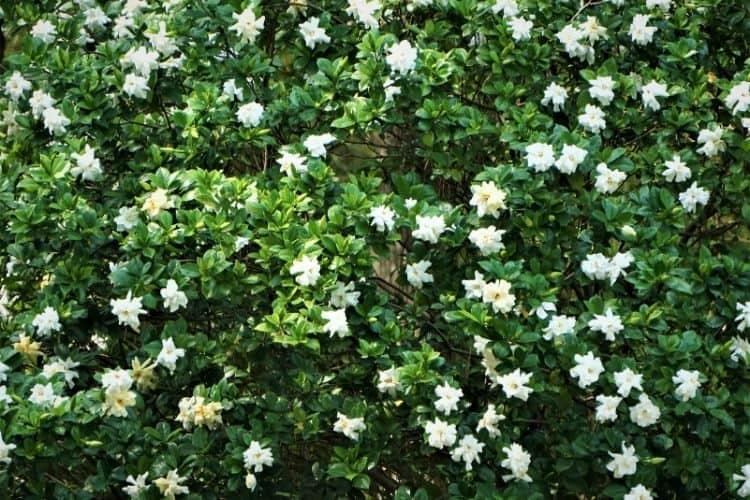 shrubs for small spaces - dwarf gardenia