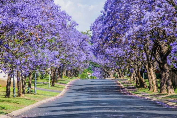Purple Flowering Trees - Jacaranda