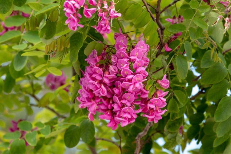 Purple Robe Black Locust Tree
