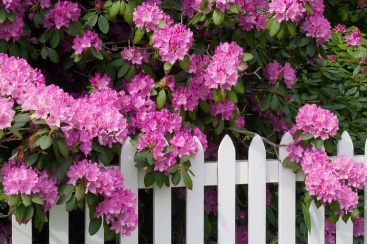 Low maintenance shrubs for the front of the house - rhododendron