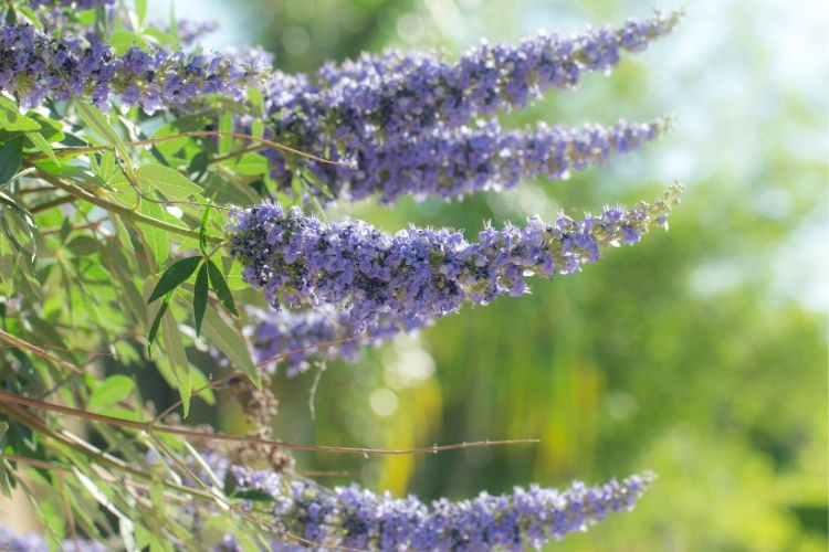 Purple Flowering Trees - Vitex (chaste) tree