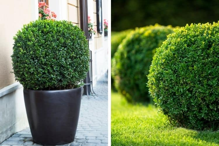 shrubs for small spaces - boxwoods