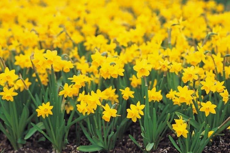 yellow perennial flowers - daffodils