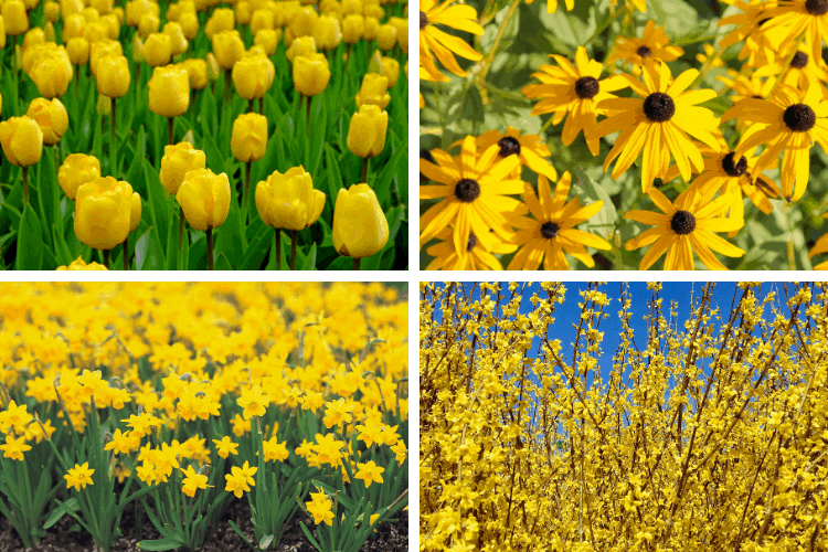 Yellow Perennial Flowers and Plants