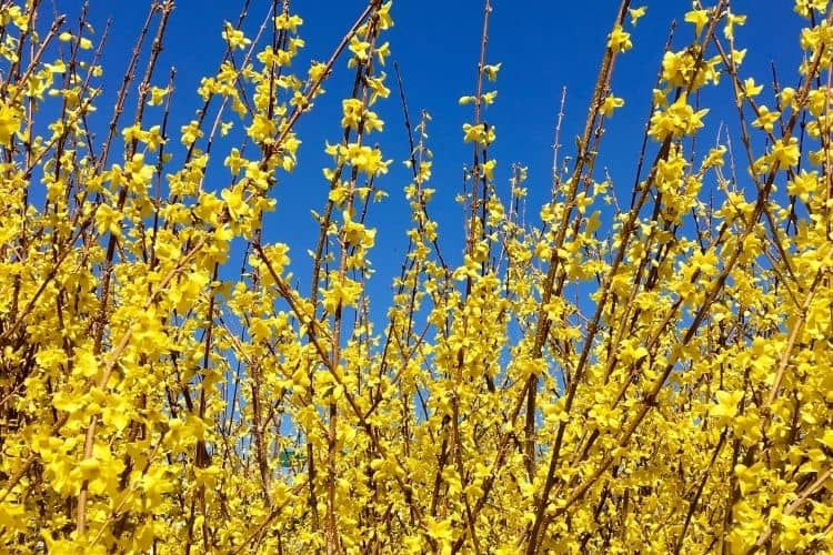 Yellow perennials flowers and plants - forsythia
