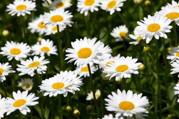 yellow perennial flowers great for cutting - shasta daisy