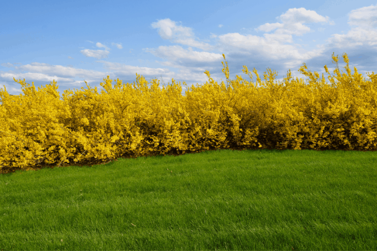 How to grow forsythia