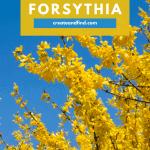 How to Grow Forsythia