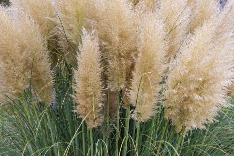 Perennial Ornamental Grasses - Pampas Grass