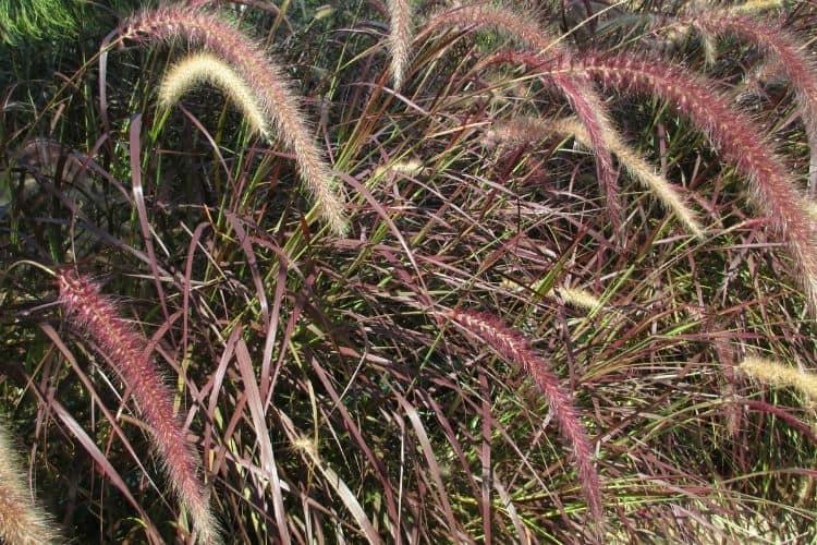 Perennial Ornamental Grasses - Purple Fountain Grass
