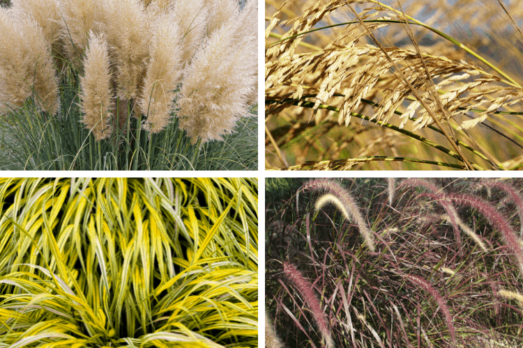 Perennial Ornamental Grasses