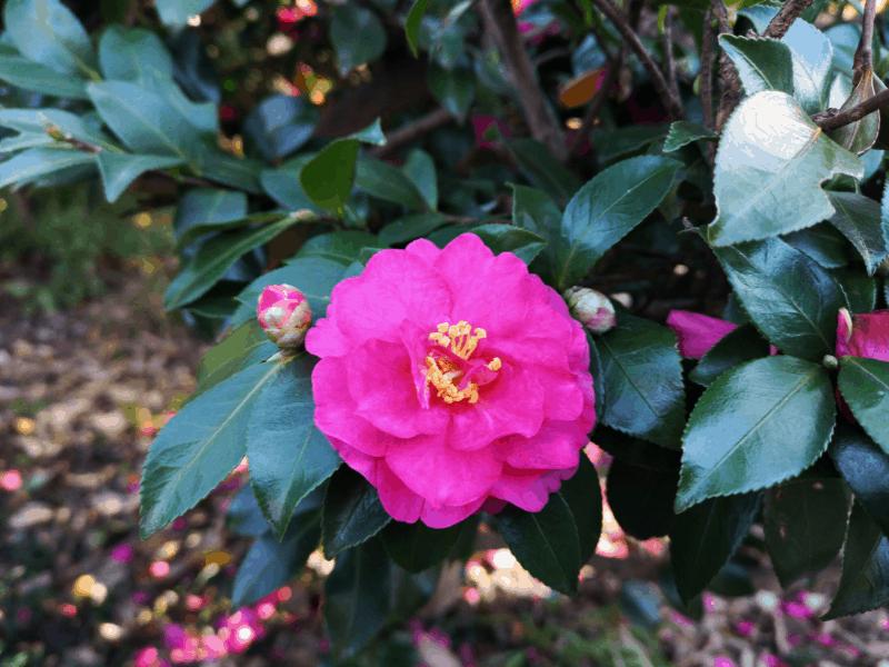 fall blooming shrubs camellia sasanqua