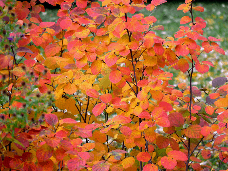 fall blooming shrubs fothergilla